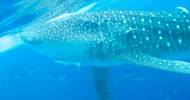 南国の楽園、野生のジンベエザメとほぼ100%出会えるセブ島「オスロブ」
