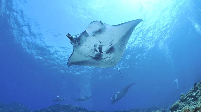 ニタリザメやマンタに高確率で出会える癒しのアイランド