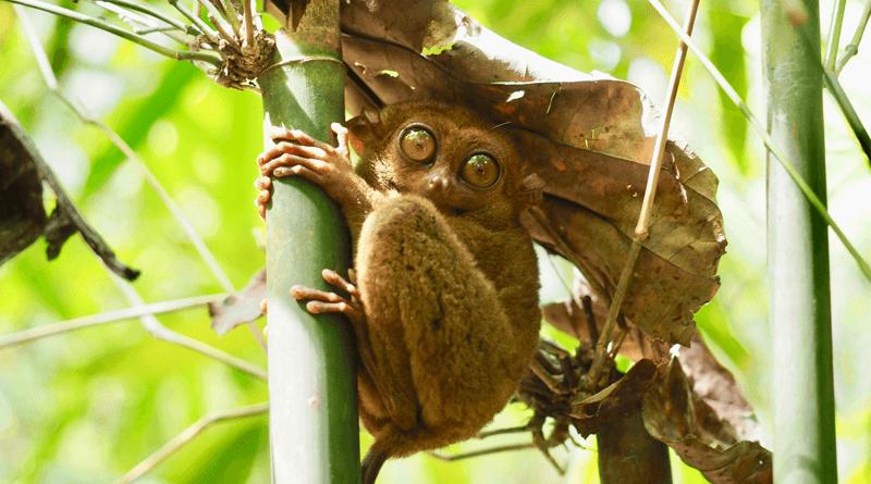 絶滅危惧種で世界最小の猿ターシャが見られるフィリピン・ボホール島「ターシャ自然保護区」